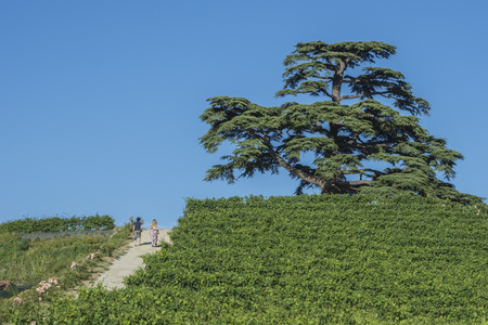 Cedar of Lebanon. Secular tree of La Morra