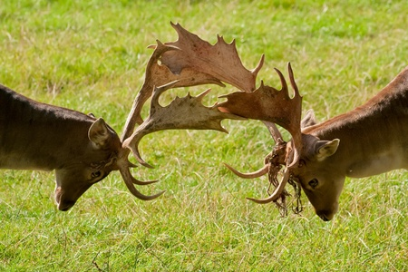 Two fallow deers in a playful fight