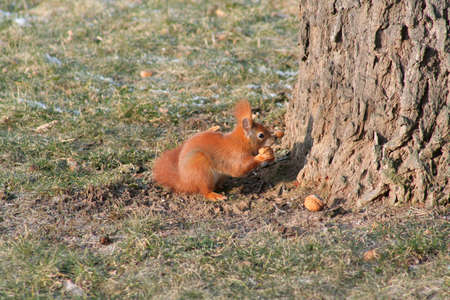Red squirrel in the grass with hazelnuts