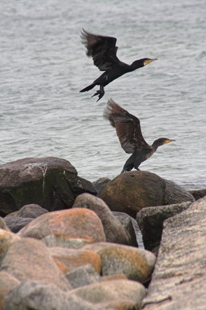 Two cormorants start flying on the beach