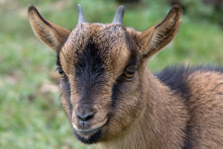 Portrait of a goat in a green meadow