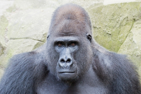 Portrait of a silverback gorilla looking curious