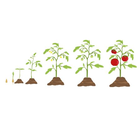 Illustration for Tomato grow cycle. From small seed to big tomato. - Royalty Free Image