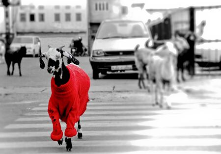 Goat in the red sweater walking through the road
