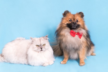 Photo pour White cat and spitz dog together. looking at camera. isolated on blue background. - image libre de droit