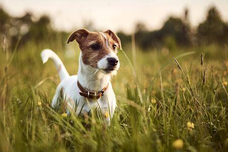 Photo pour Portrait of jack russell terrier dog outside in the evening - image libre de droit