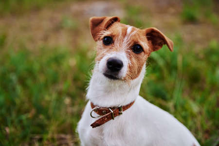 Photo for Dog on the grass in a summer day. Jack russel terrier puppy looks at camera - Royalty Free Image