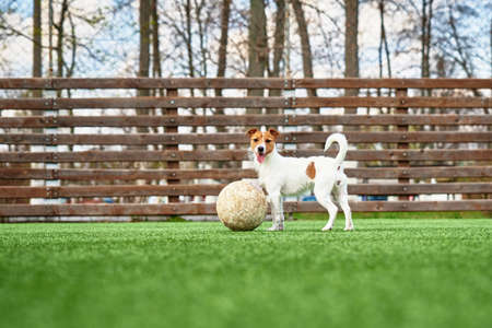 Photo for Dog Play with football ball on green grass - Royalty Free Image
