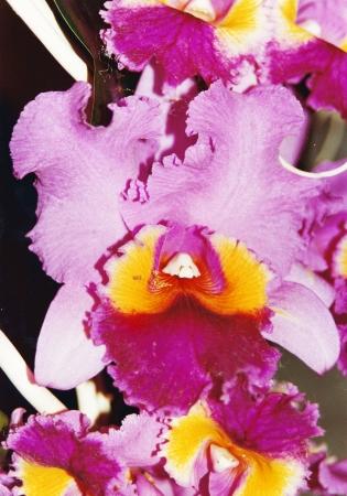 Orchidea  4