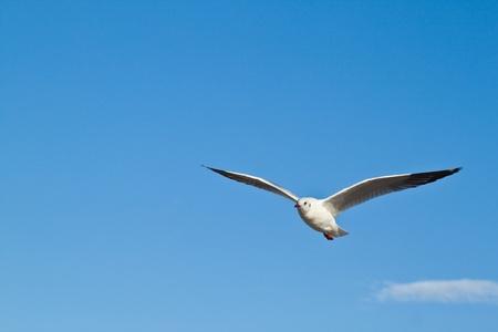 Seagull in blu sky background