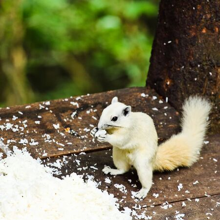 White albino squirrel eating food