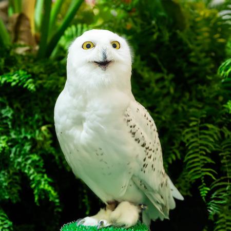 portrait of a beautiful snow owl (Bubo scandiacus): Royalty