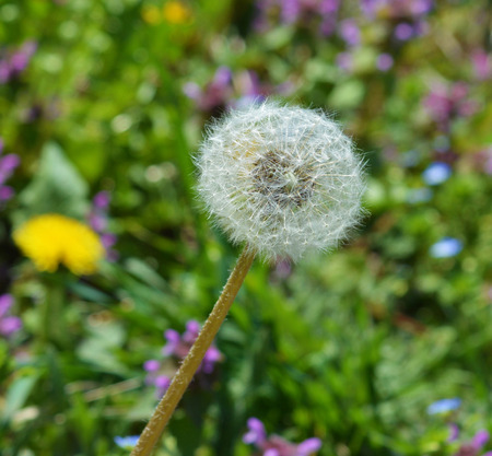 Dandelion in colorful meadow background
