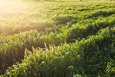 Bright sunset over green field