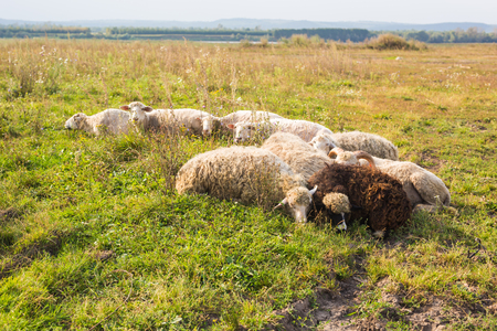 agriculture, sheep graze in a meadow