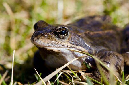 Frog eye macro closeup of wet amphibian animal between grass