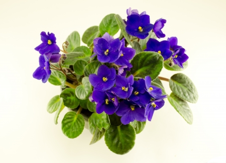african violet flower and brightly green leaves in pot