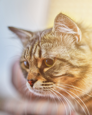 Portrait of striped cat. Young crazy surprised cat make big eyes closeup. Surprised kitten funny face. Cute tabby cat looking surprised and scared. Emotional surprised wide eyed