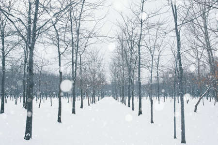 Photo pour Winter alley in the park. Trees without leaves are planted in a row. Snowy Christmas morning. Frosty weather. Falling snow in the forest. - image libre de droit