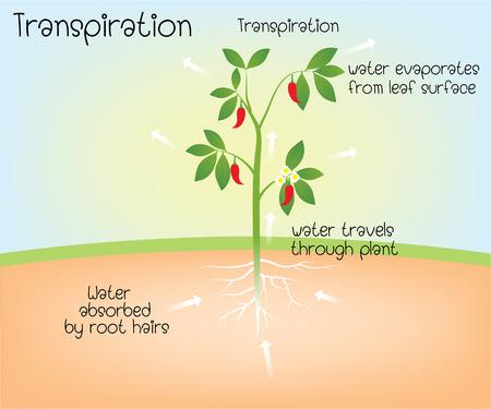 Illustration for transpiration - Royalty Free Image