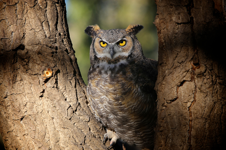Great Horned owl sitting in tree