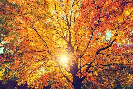Sunny autumn golden maple tree