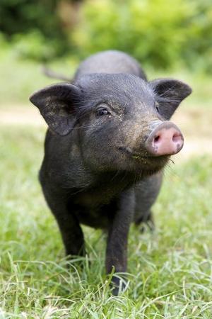 Photo pour Black Piglet - image libre de droit