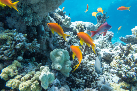 Photo pour Underwater coral reef with group of tropical fish - image libre de droit