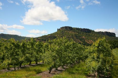 Pear Orchard in southern Oregon with Lower Table Rock in the background
