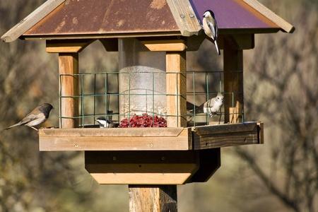 Feeding Wild Birds in Winter - Oregon Junco, Chickadee and a Titmouse