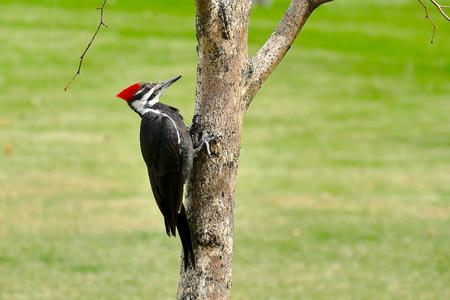 Foto de Female pileated woodpecker perched on tree trunk with green grass background - Imagen libre de derechos