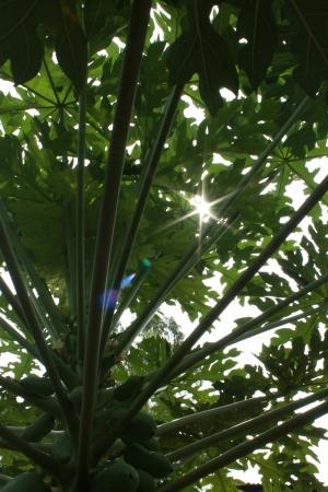 sunshine on verdant papaya