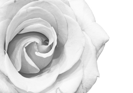 White rose petals isolated w