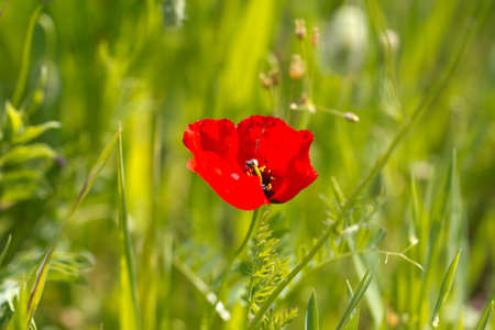 red poppy flower on nature