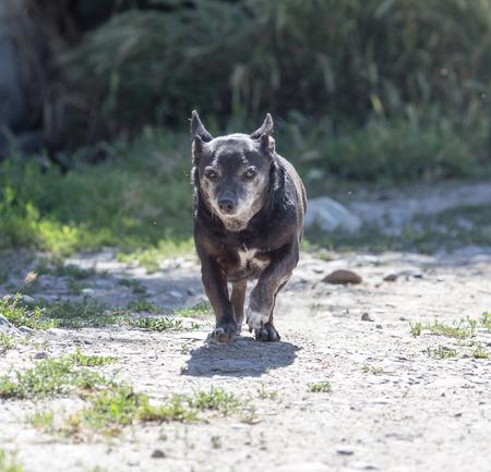 black dog on the run