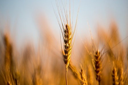Photo for yellow ears of wheat at sunset in nature . - Royalty Free Image