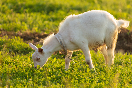 White goat grazing on green grass outdoors .