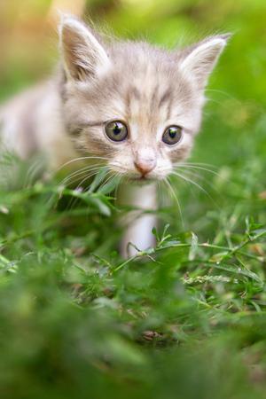Photo pour Portrait of a kitten in green grass . - image libre de droit
