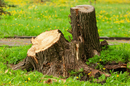 Photo pour Stump from tree in park in spring . - image libre de droit