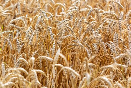 Photo for Ripe ears of wheat grow on the nature. - Royalty Free Image
