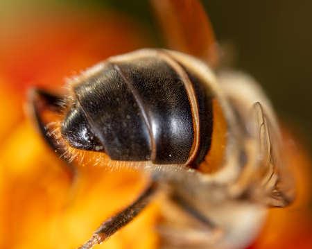 Photo pour Close-up of a bee on a flower. Macro - image libre de droit