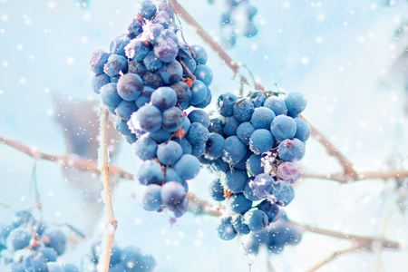 Photo for Grapes on the frozen vine - Royalty Free Image