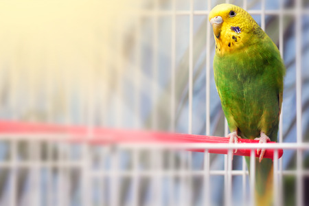 Photo for Green budgerigar parrot close up sits on cage near the mirror. Cute green budgie. - Royalty Free Image