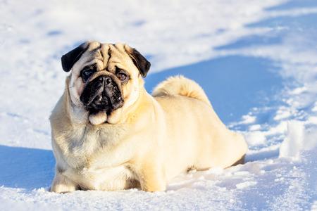 Photo pour A beautiful pug dg playing outside in cold winter snow. - image libre de droit