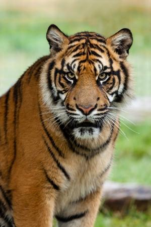 Portrait of Beautiful Sumatran Tiger Panthera Tigris Sumatrae
