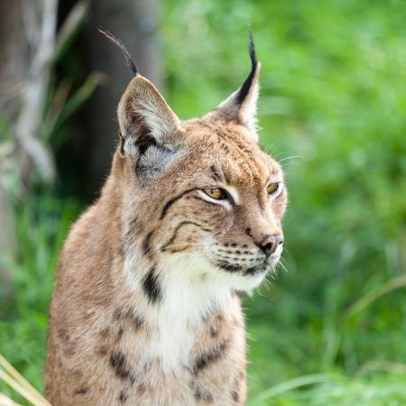 Head Shot Portait of Eurasian Lynx against Greenery