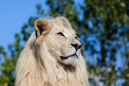 Head Shot Portrait of White Lion against Trees Panthera Leo