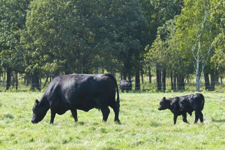Black Angus Cow with Calf