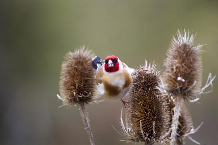 Stieglitz (Carduelis carduelis), Distelfink auf einer Distel