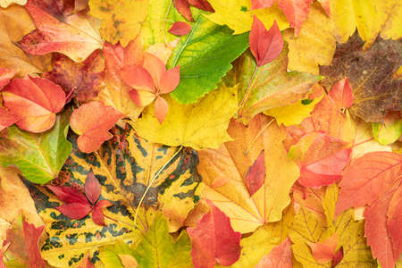 Photo for Colorful autumn leaves that have fallen from the tree - Royalty Free Image